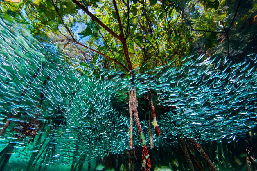 Silversides swirl through mangroves like a river in the sea. The dense forest of roots offers welcome shelter for the finger-size fish, which form large schools to try to confuse predators. Mangroves enhance reefs by providing a nursery area for vulnerable creatures and by trapping sediment that can smother coral. They also store carbon that might otherwise contribute to global warming.