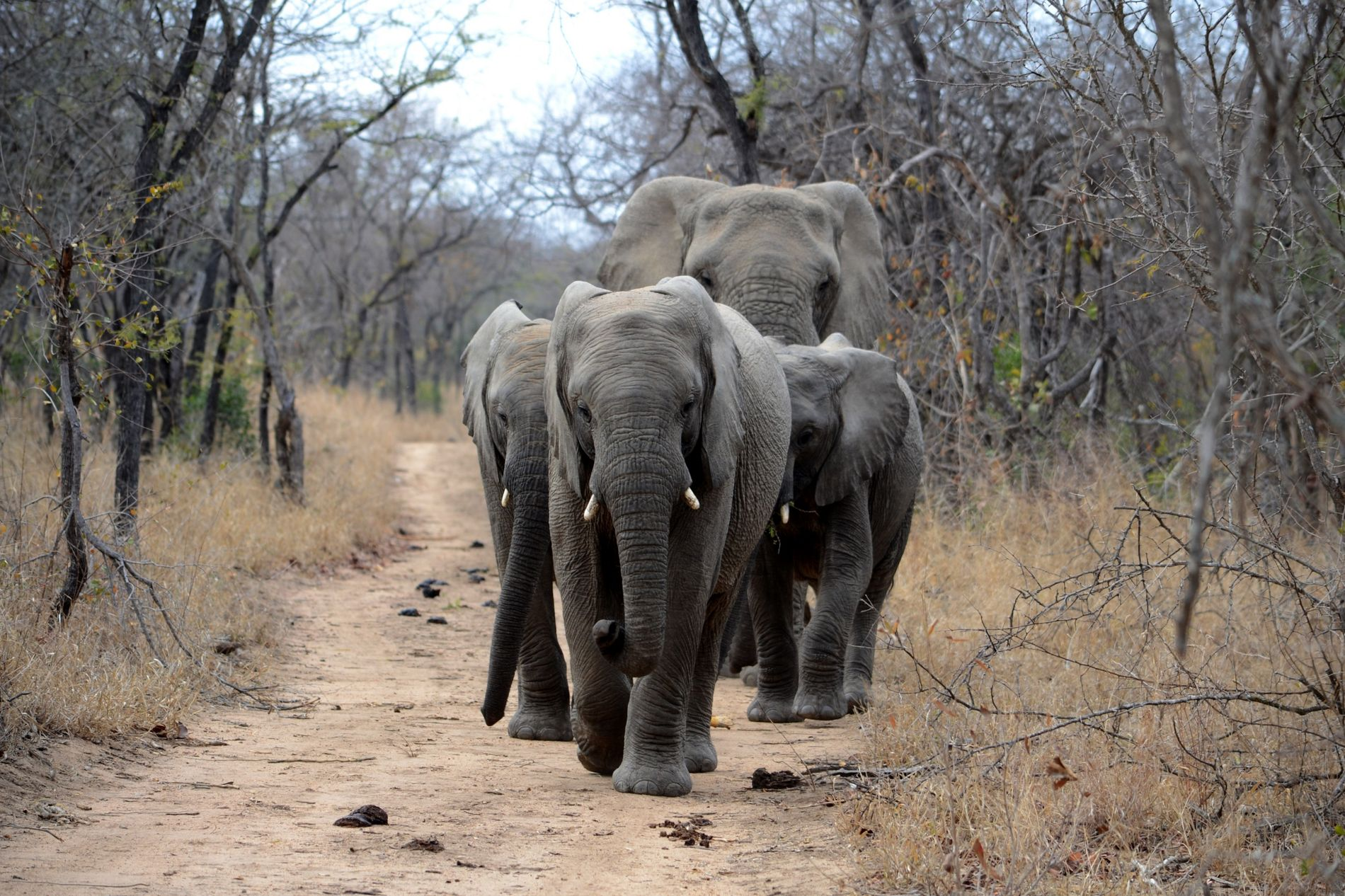 Scientists are using geophones to track the tremors created by elephants. Image by Simon Greenwood, Unsplash