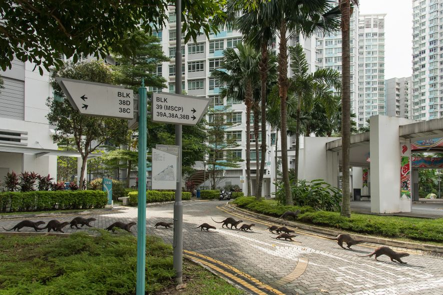 Singapore's otter families all have names. Here, the Bishan family crosses a street in the city ...