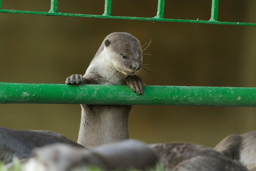 Otter pups stay with their parents longer than otter pups in other more rural populations.