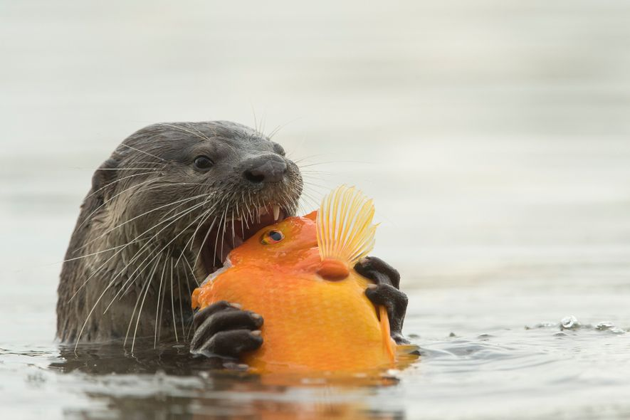 In Singapore's Marina Bay, an otter dines on a fish.