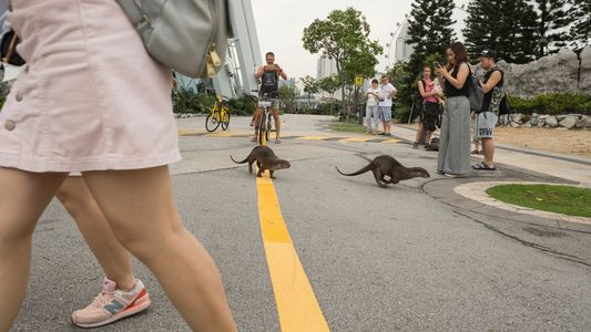 Cheeky otters are thriving in Singapore—and adapting quickly to big city life