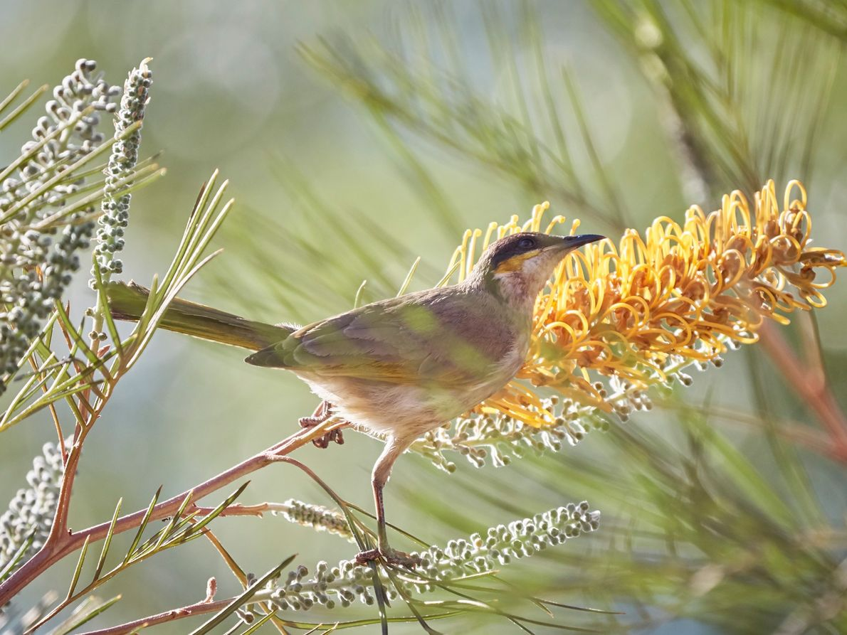 A singing honeyeater perches in a flame grevillea tree.