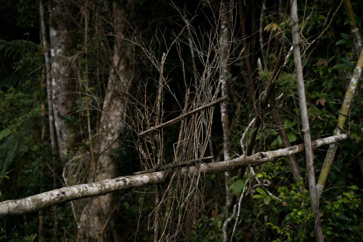 Hunters sometimes use traps made of a single log and a square of small branches to ...