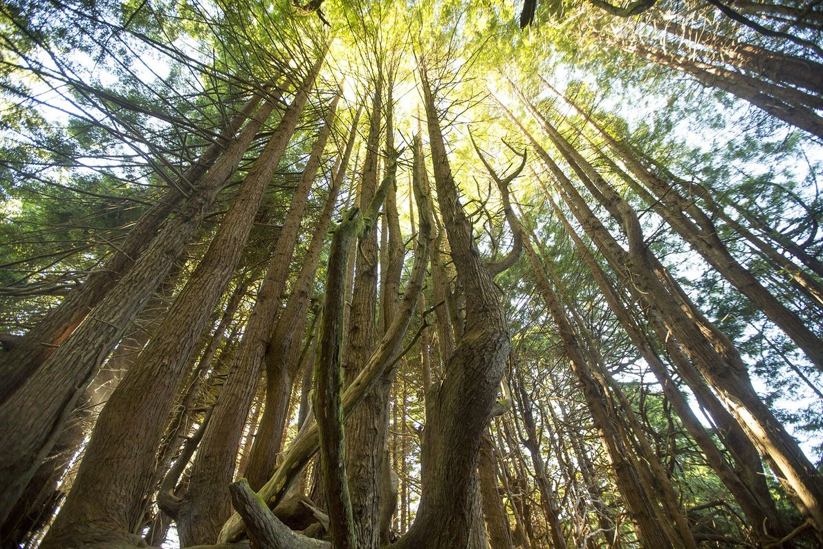 The Usal Redwood Forest extends 50,000-acres off the California coastline. The mix of redwoods, Douglas firs, ...