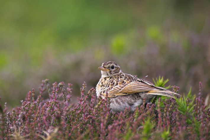 The recent and dramatic population declineof skylarks make it a Red List species.