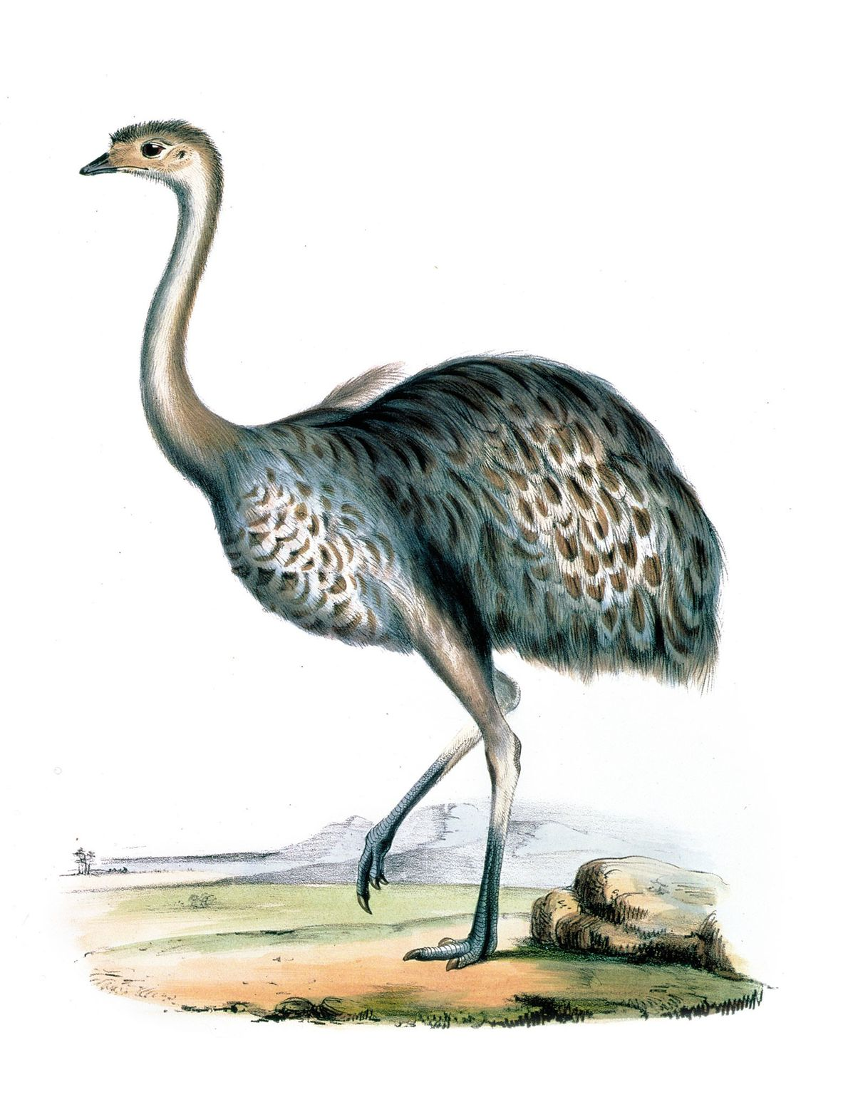 The smaller rhea was identified by Darwin in Tierra del Fuego and was originally named Rhea ...