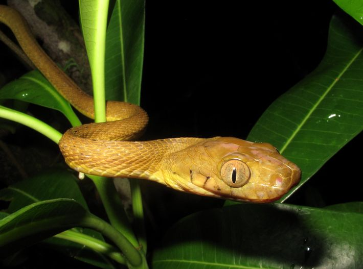 Cargo ships likely introdueced the brown tree snake, which is native to other Pacific islands, to ...
