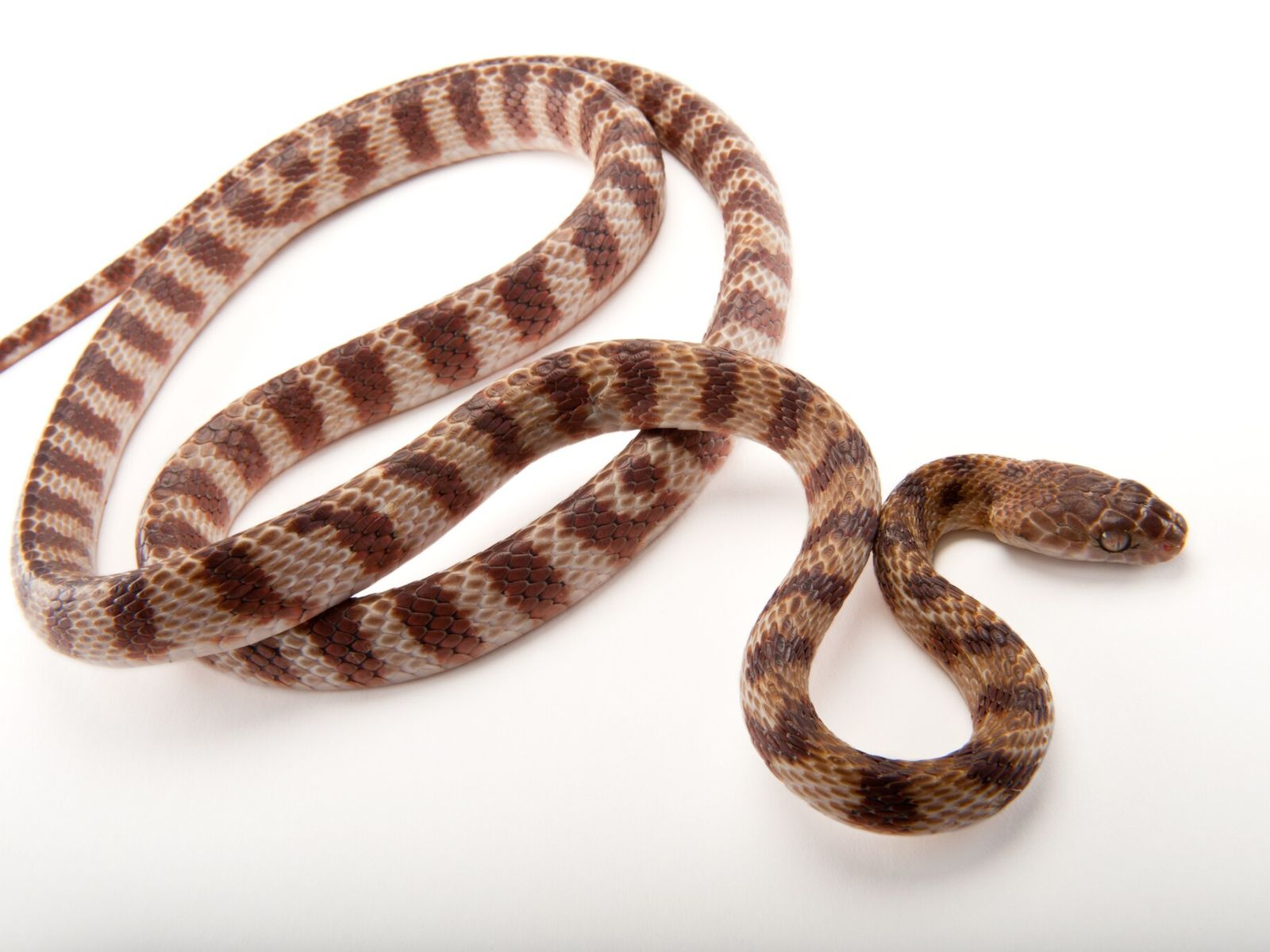 The brown tree snake (pictured at Omaha's Henry Doorly Zoo) can grow up to 10 feet ...