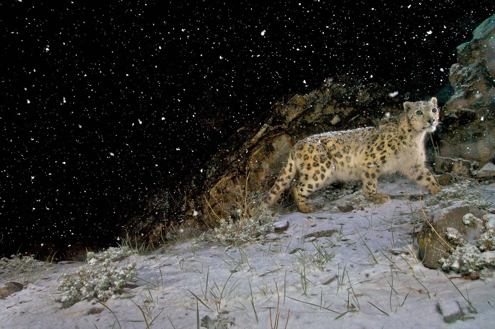 2008: Captured on a painstakingly-set camera trap, the famously elusive snow leopard in Hemis National Park, ...
