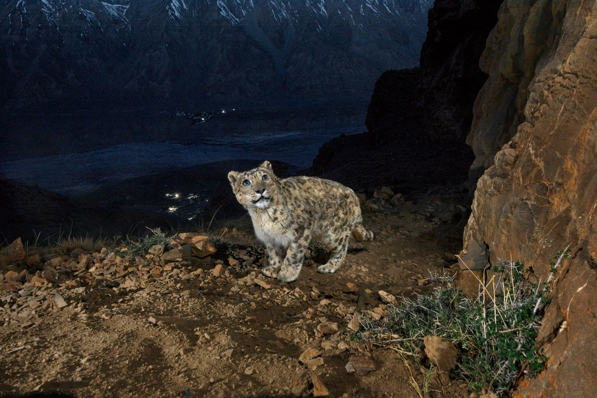 A camera trap catches an old male snow leopard on a mountain overlooking the Spiti Valley ...