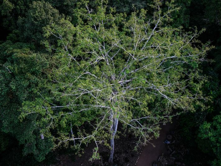 congo-canopy