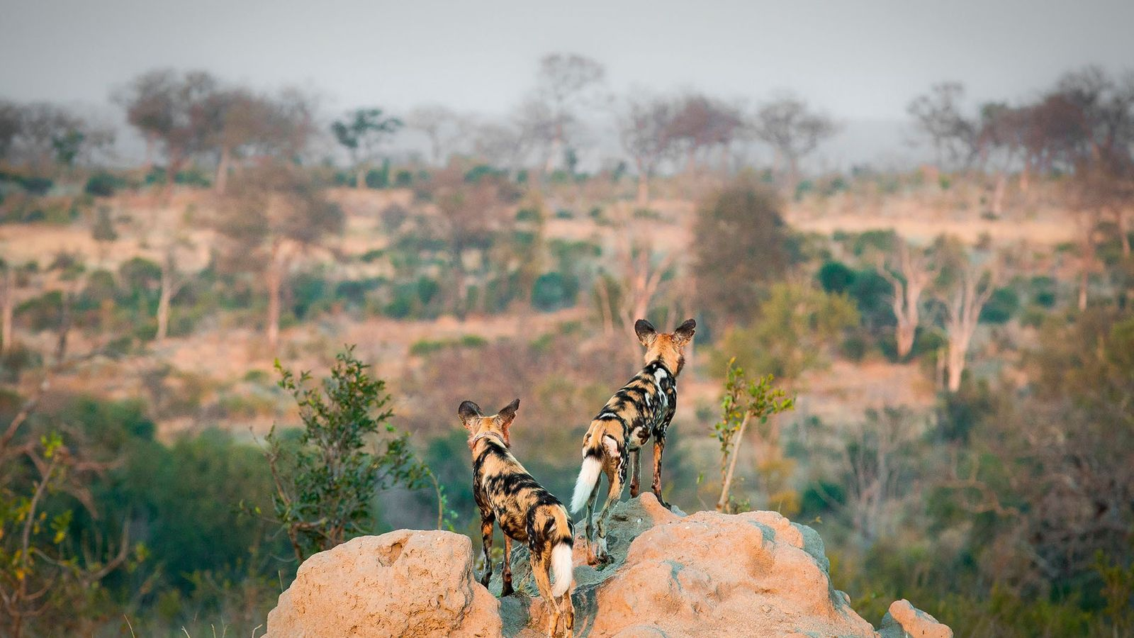 Wild dogs standing on a termite mound.