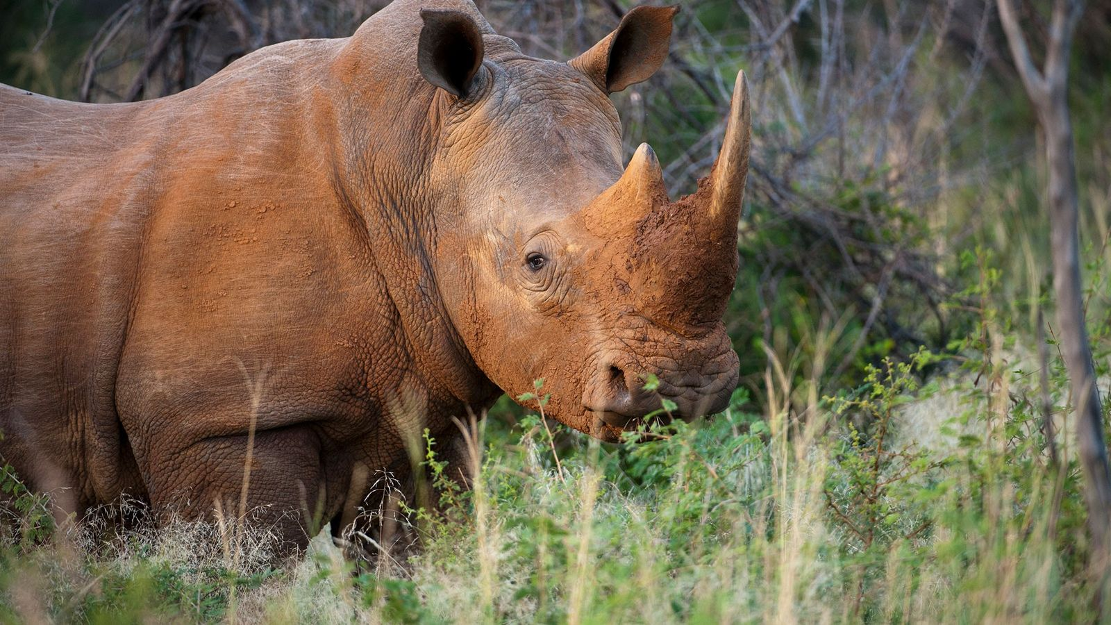 A southern white rhino ('Ceratotherium simum ssp. simum') at a game reserve in South Africa.