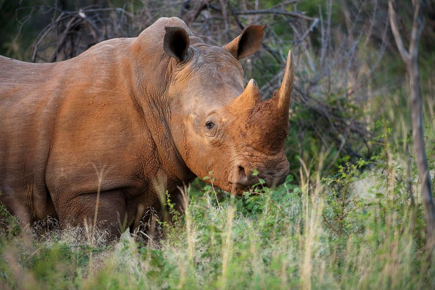 Countries reject proposal to open up rhino horn trade