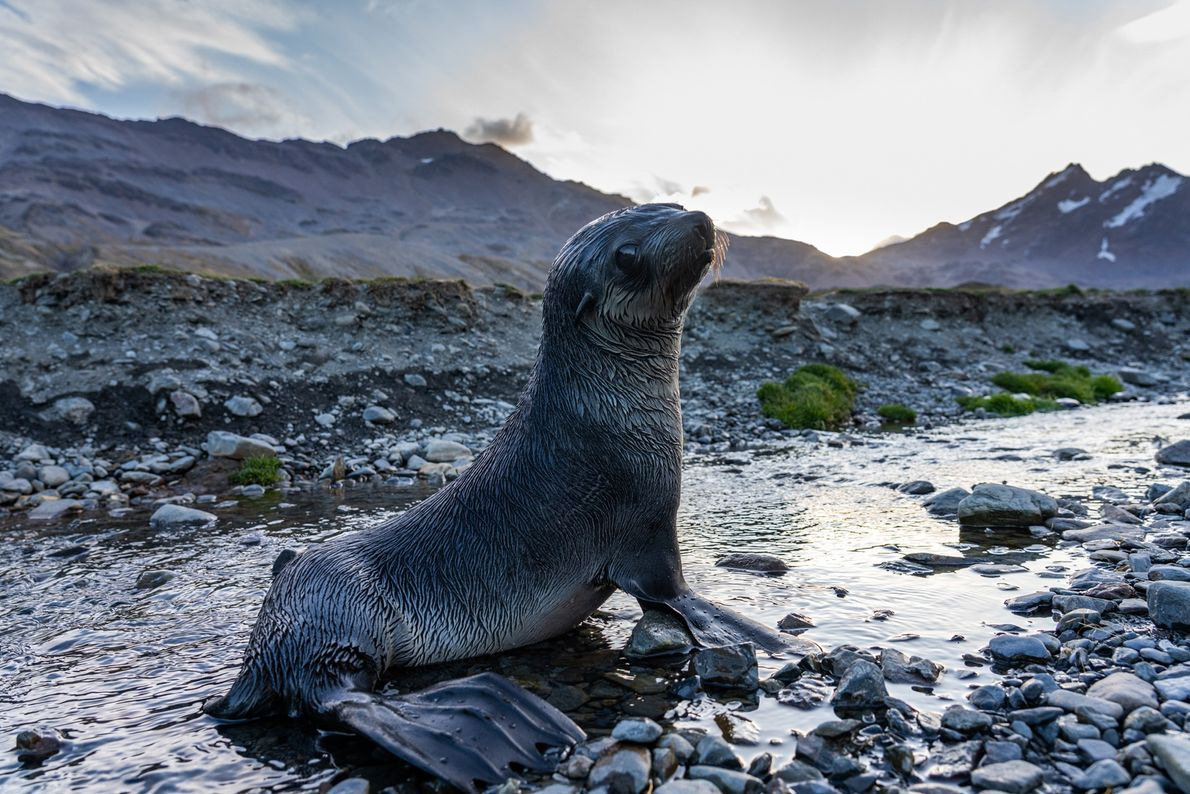 Fur seals, once hunted by the millions for their pelt, now crowd the rocky edges of ...