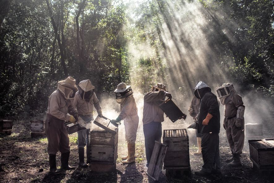 Maya beekeepers in the Mexican state of Campeche say their bees are dying and honey harvests ...