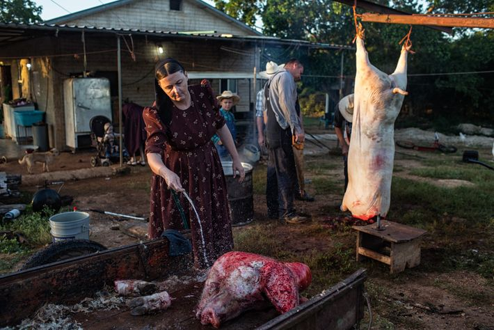 Ana Ham cleans a pig's head at the Temporal Mennonite Camp in Mexico. The family gives ...