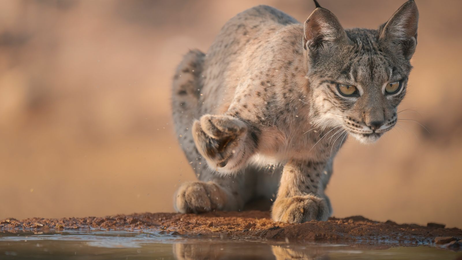 An Iberian lynx club spotted in Castile-La Mancha, central Spain. Hopes of seeing the elusive felines ...