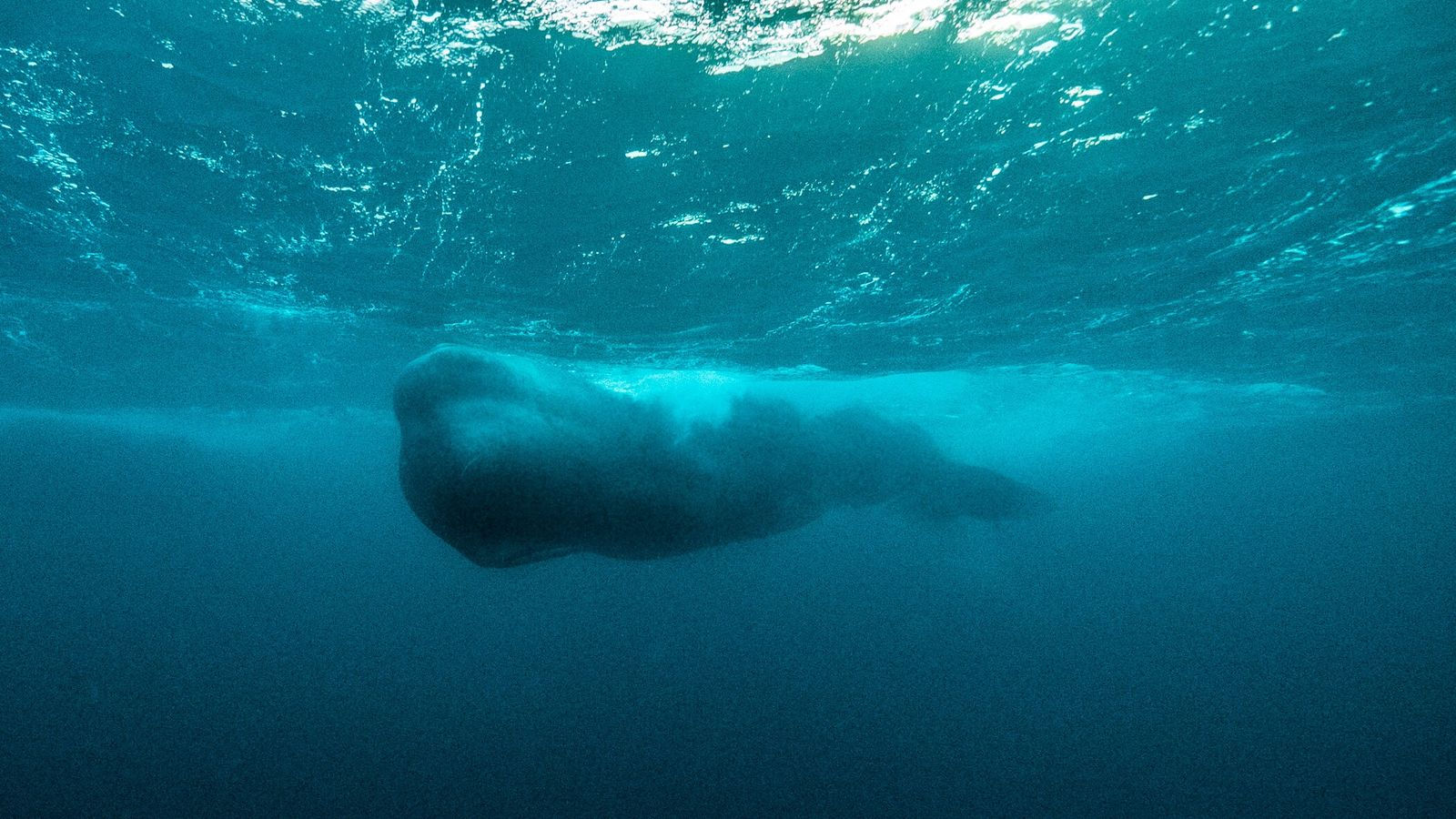 The team captured the only clear image of a male sperm whale underwater in this region ...