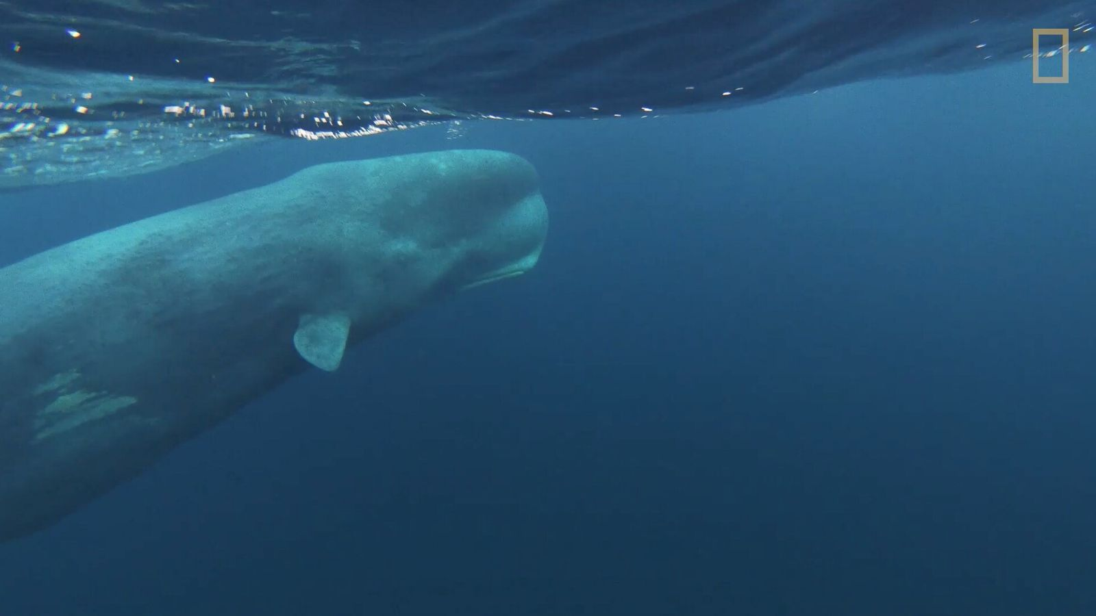 Andreas B. Heide, a free-diver and captain of the research vessel Barba captured this remarkably intimate footage ...