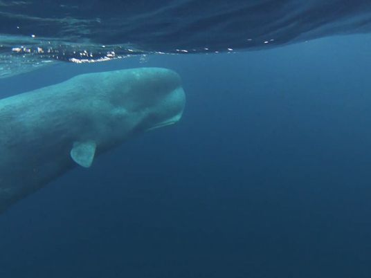 Watch a young sperm whale dive in the winter seas off Norway