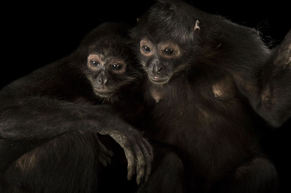 Black spider monkeys (Ateles fusciceps) photographed at Omaha's Henry Doorly Zoo and Aquarium in Nebraska.