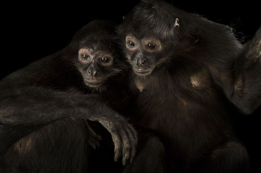 Learn About Spider Monkeys