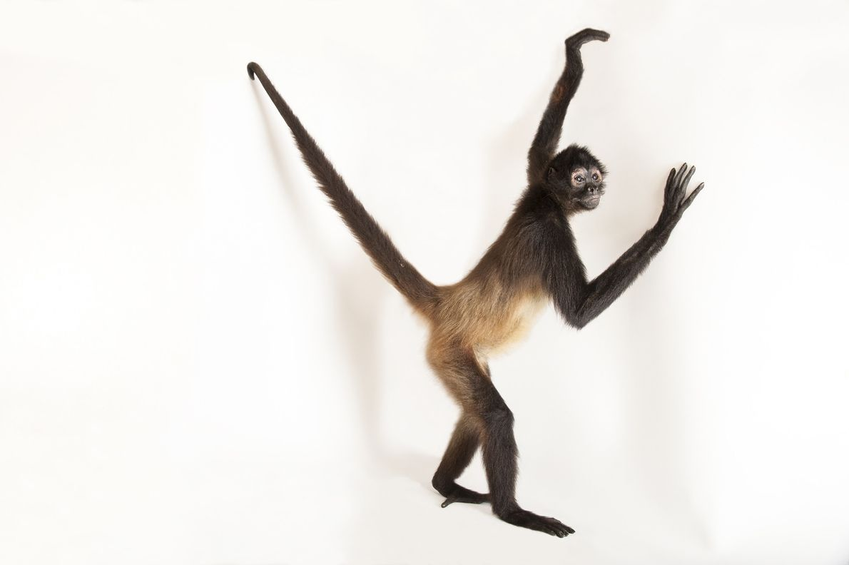 A Mexican spider monkey (Ateles geoffroyi vellerosus) photographed at Gladys Porter Zoo in Brownsville, Texas