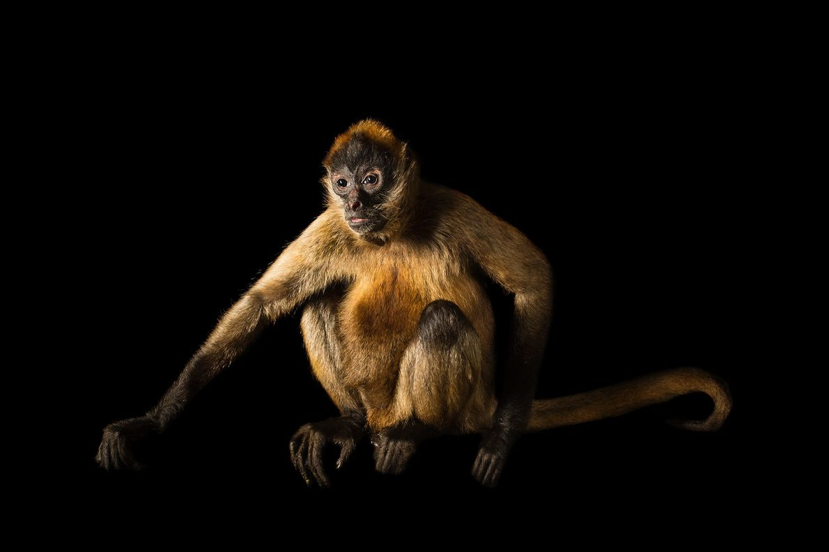 A Nicaraguan spider monkey (Ateles geoffroyi geoffroyi) photographed at Wellington Zoo in New Zealand
