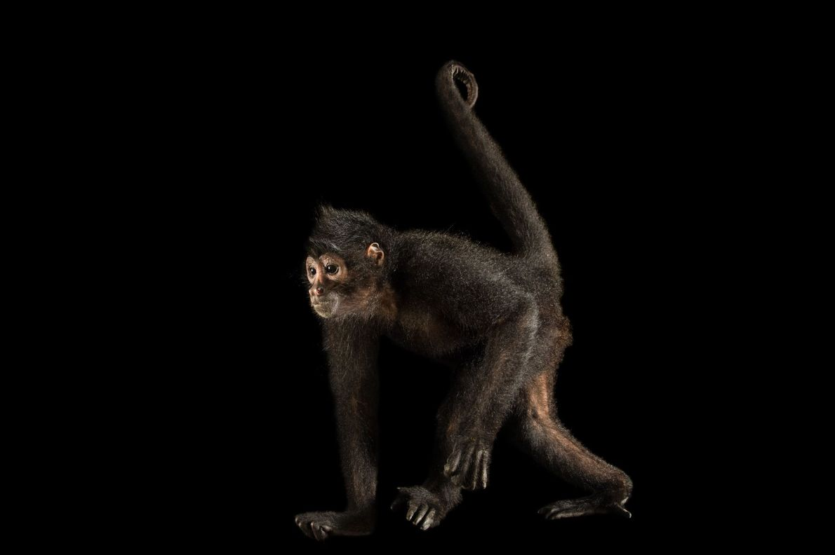 A Colombian spider monkey (Ateles fusciceps rufiventris) photographed at Summit Municipal Park in Gamboa, Panama.