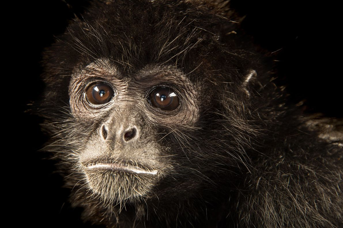 A Colombian spider monkey (Ateles fusciceps rufiventris) photographed at Parque Jaime Duque in Bogotá, Colombia.