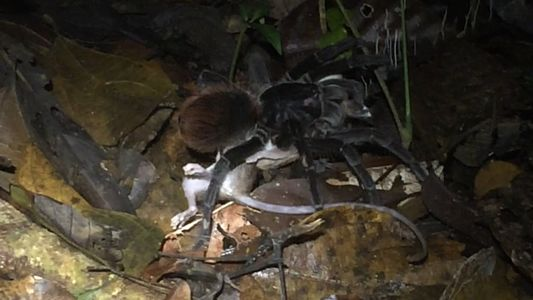 See a giant Amazon spider prey on opossum in video first
