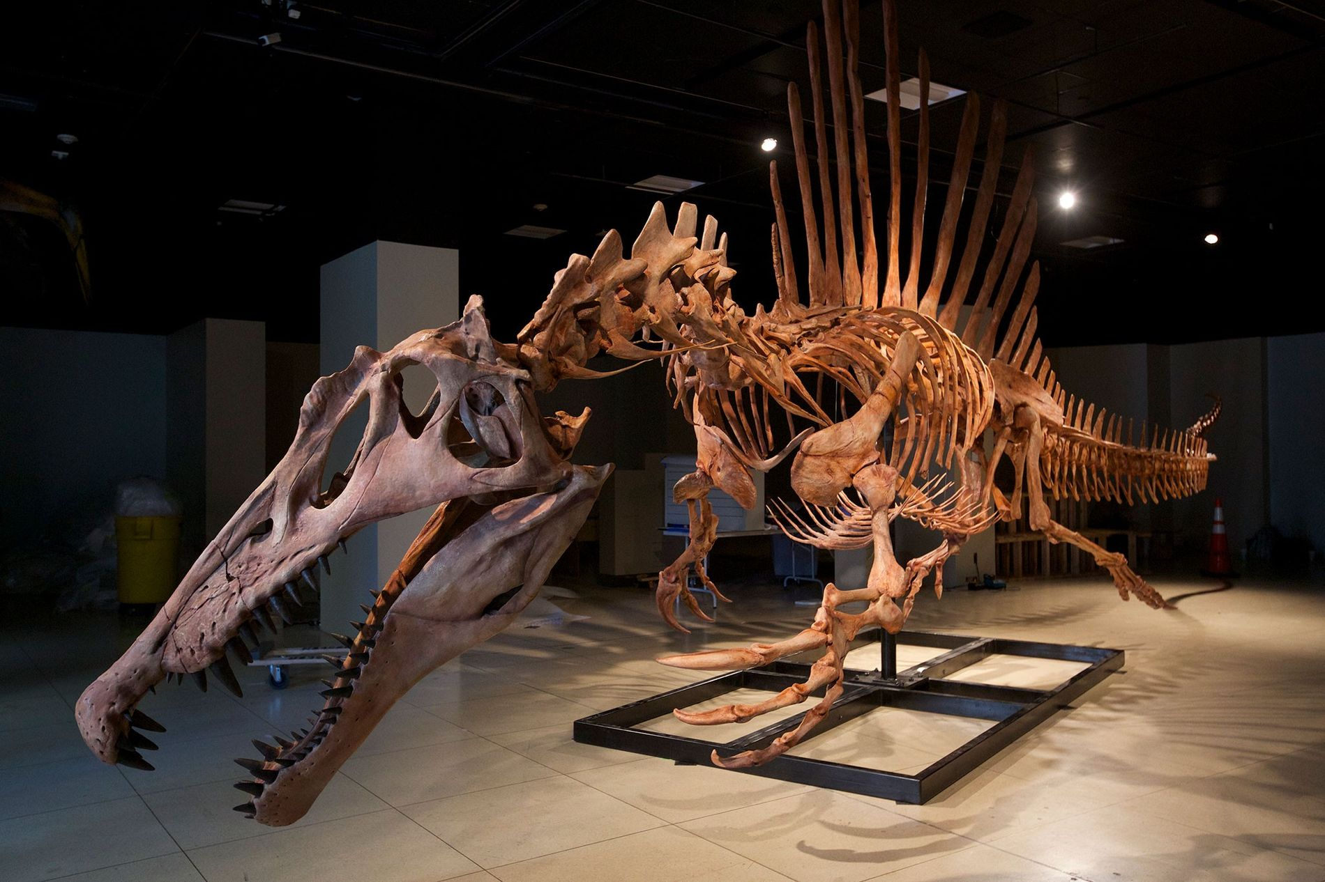 A life size model of the skeleton of Spinosaurus aegyptiacus, the largest meat-eating dinosaur ever found.