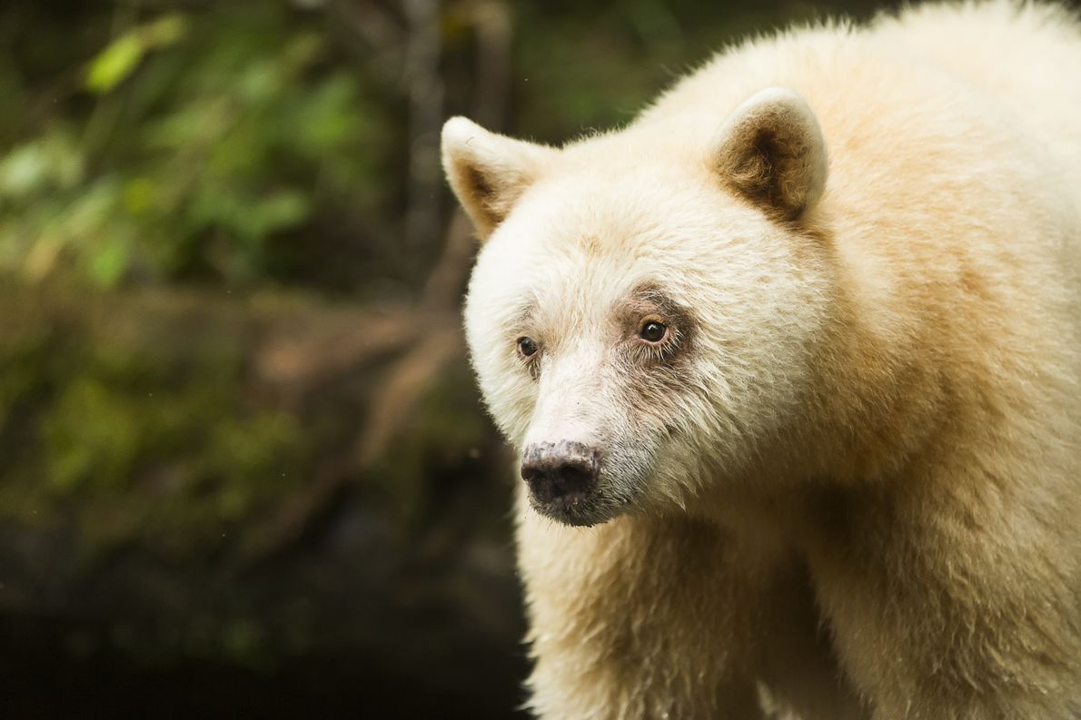 Close up of the rare, white Kermode bear 'Spirit Bear' at the Great Bear Rainforest.