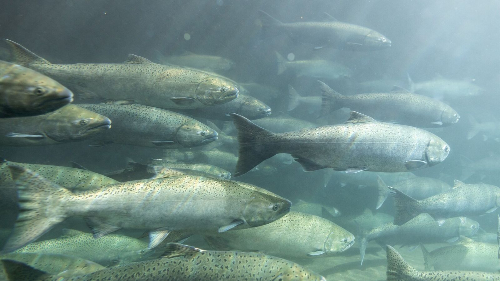 Spring chinook salmon come of age in a hatchery. Once their eggs mature, they will be ...