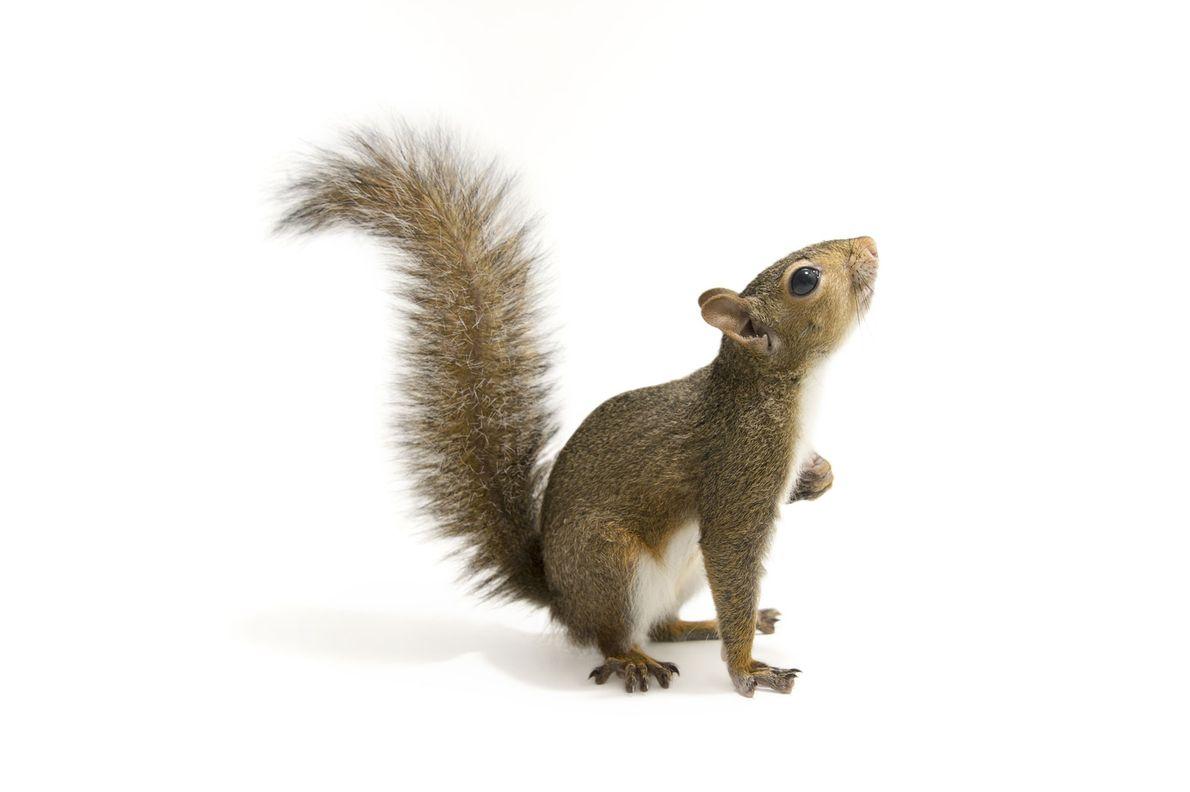 An eastern grey squirrel ('Sciurus carolinensis') photographed in Tallahassee, Florida, USA.
