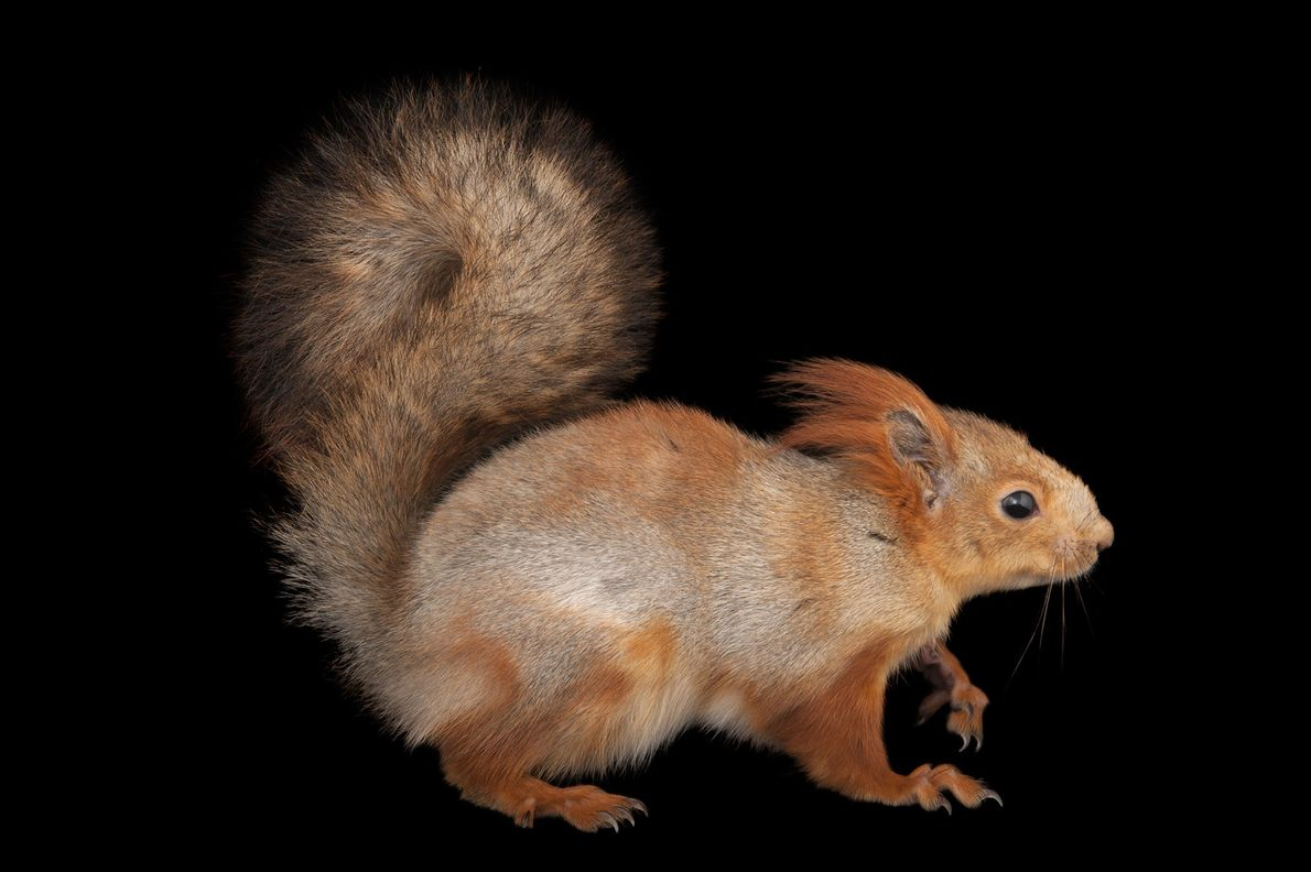 A Eurasian red squirrel ('Sciurus vulgaris') photographed at Miller Park Zoo in Bloomington, Illinois, USA.