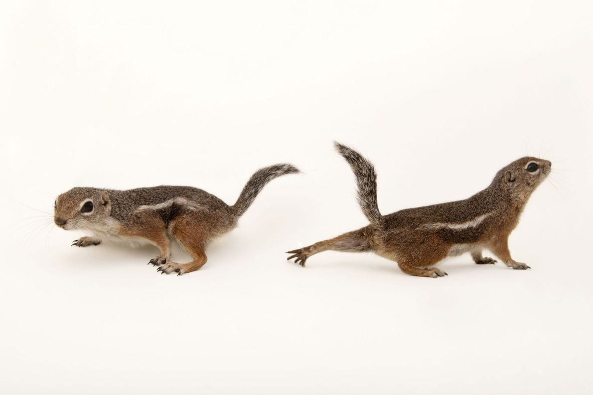 Harris's antelope squirrels ('Ammospermophilus harrisii') photographed at Los Angeles Zoo in California, USA.