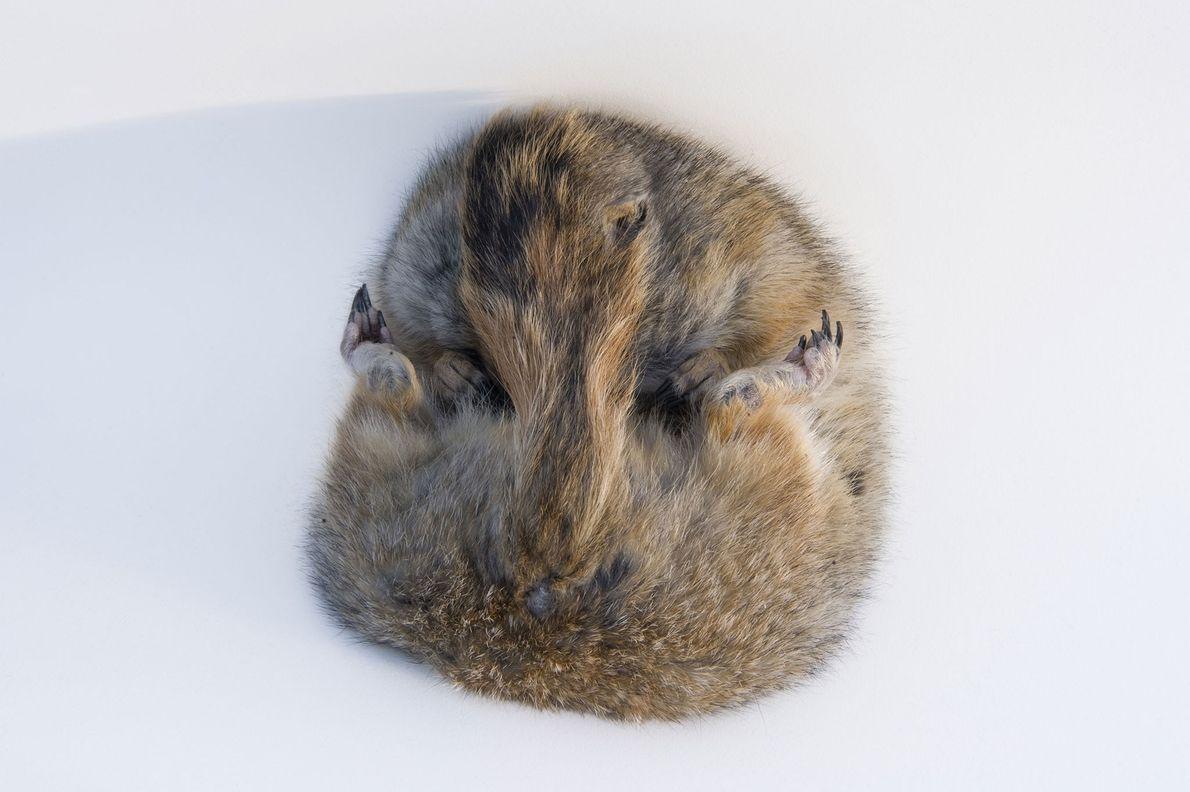 A hibernating Arctic ground squirrel ('Spermophilus parryii') photographed at University of Alaska, Fairbanks, USA.