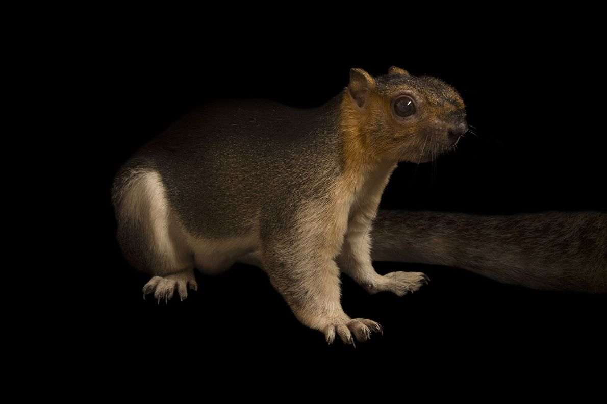 A cream-coloured giant squirrel ('Ratufa affinis') photographed at Omaha's Henry Doorly Zoo and Aquarium in Nebraska, ...