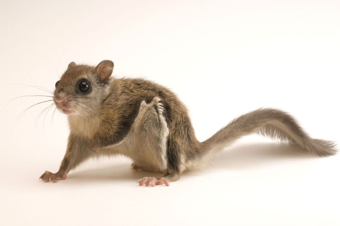 A young northern flying squirrel ('Glaucomys sabrinus') photographed at Wildlife Images Rehabilitation and Education Centre in ...
