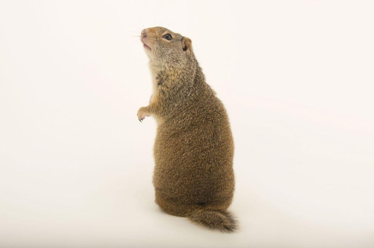 A Uinta ground squirrel ('Urocitellus armatus') photographed at Wildlife Rehabilitation Centre of Northern Utah in Ogden, ...