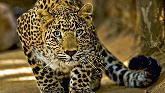 Stalking leopard.