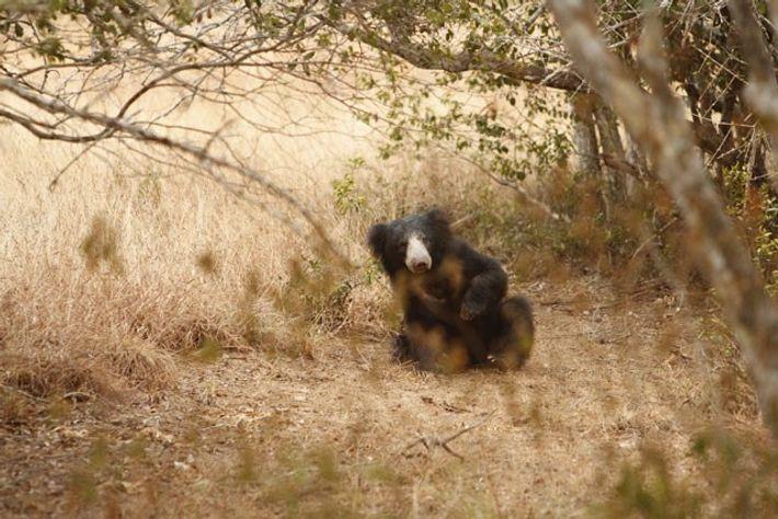 Sloth bear, Wilpattu National Park. Image: Leopard Safaris