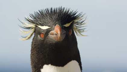 Falkland Islands: Meet a British penguin