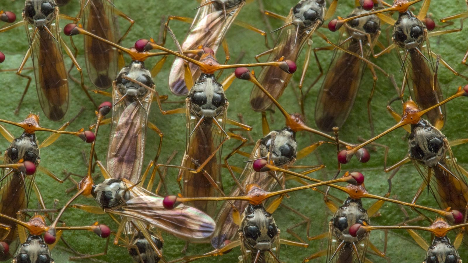 Male stalk-eyed flies congregate to put on a display for nearby females.