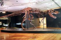 The Tyrannosaurus rex fossil known as Stan is displayed in a gallery at Christie's auction house ...