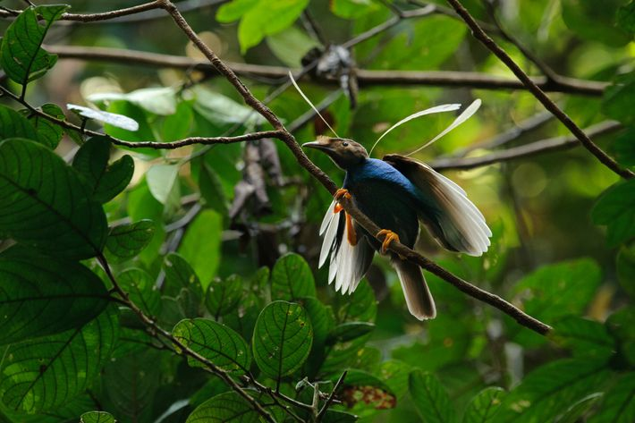 Scientists have likened Ubirajara to Indonesia's standardwing bird-of-paradise, whose males have similarly exaggerated shoulder feathers that ...