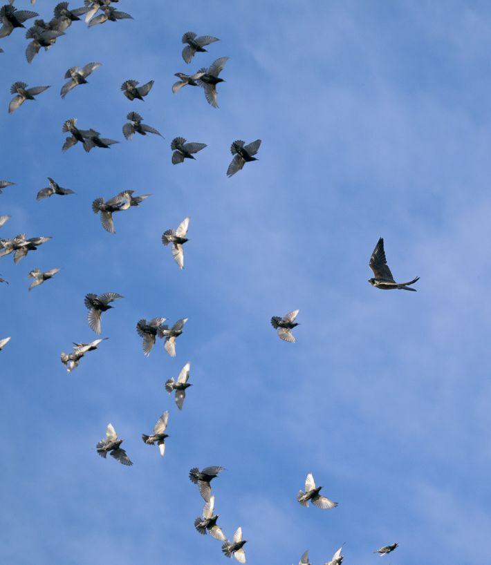 starling-murmuration-07